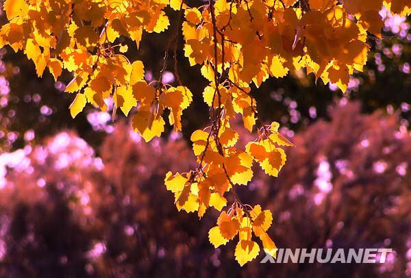 盟额济纳绿洲的胡杨林变成一片金黄色.新华社记者李欣摄